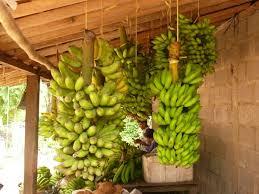 bahan tepung pisang